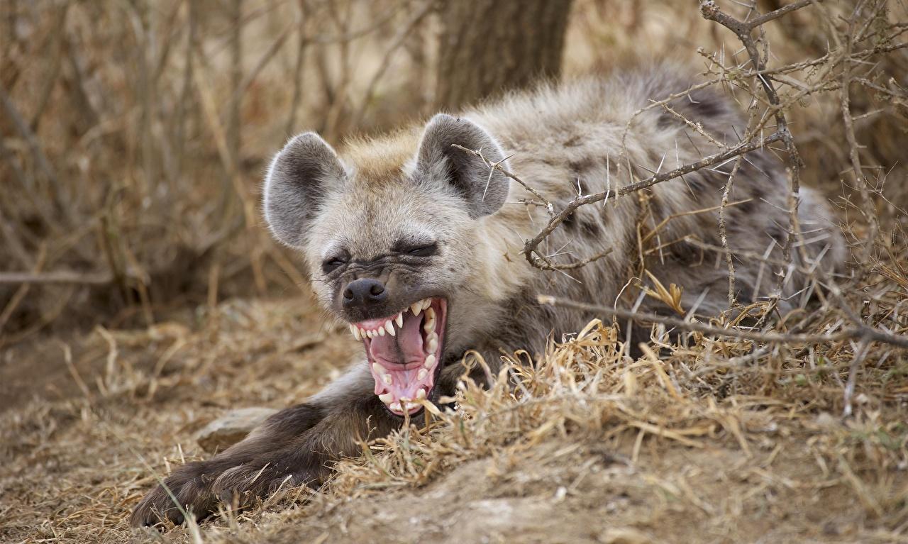 Обои для рабочего стола Гиены зевающий Язык (анатомия) Зубы Животные зевок зевают Зевает языком зевающая животное