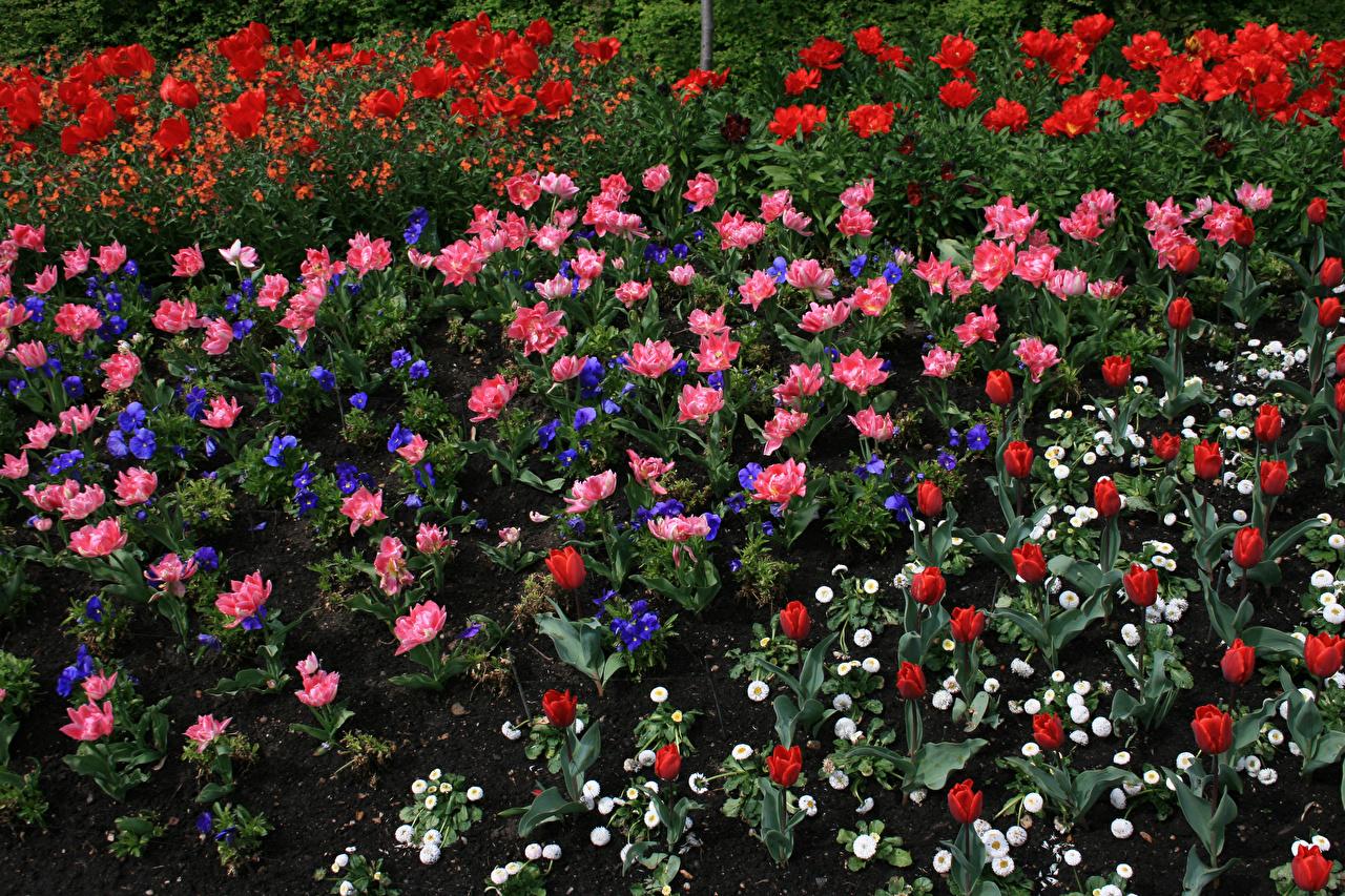 Картинки Тюльпаны цветок Фиалки Маргаритка тюльпан Цветы