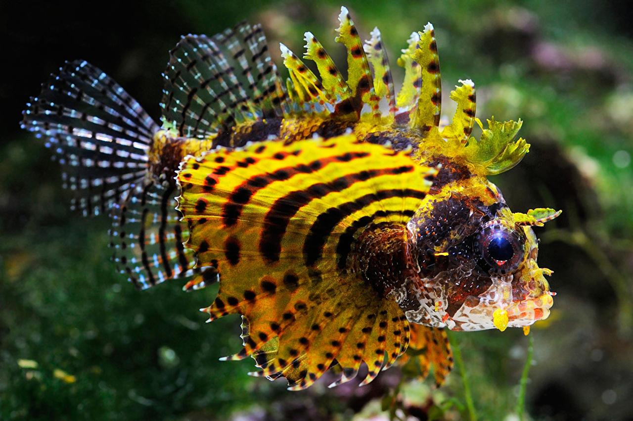 Картинки Крылатки Рыбы Море Желтый животное крылатка желтая желтые желтых Животные