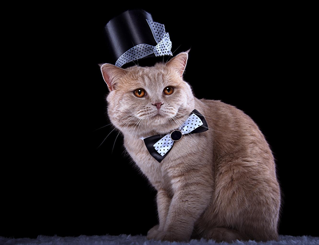 Картинка кошка Шляпа Галстук-бабочка смотрит животное на черном фоне кот коты Кошки шляпе шляпы Взгляд смотрят Животные Черный фон
