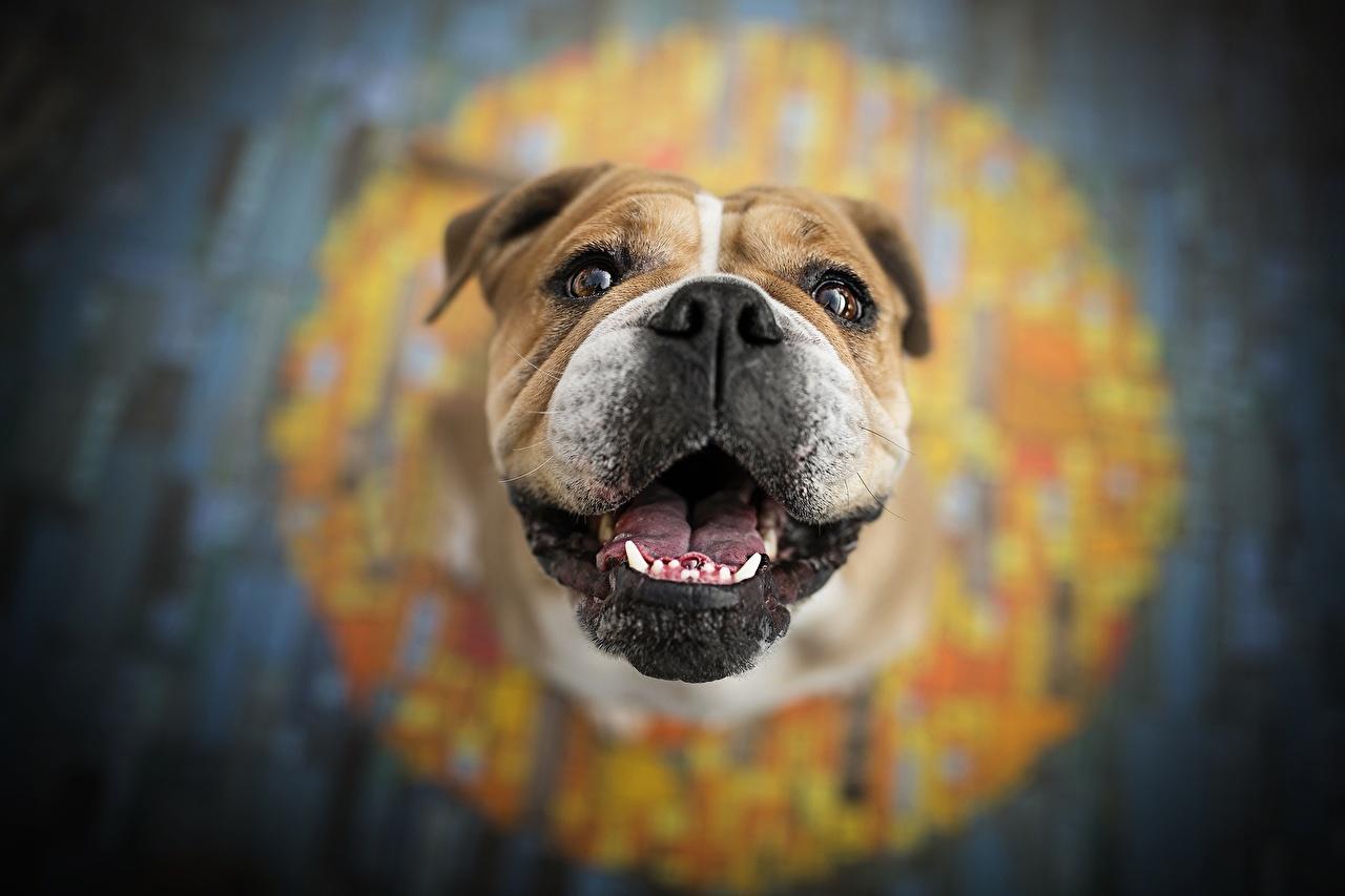Фотографии бульдога собака боке Морда животное Бульдог Собаки Размытый фон морды Животные