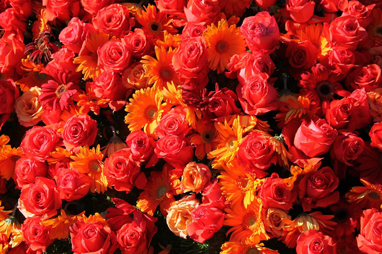Фотографии Розы Красный Герберы Цветы Много вблизи Крупным планом