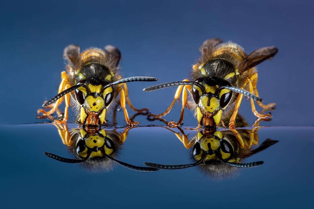 Фотографии Оса Пьет воду две вблизи животное осы 2 два Двое вдвоем Животные Крупным планом