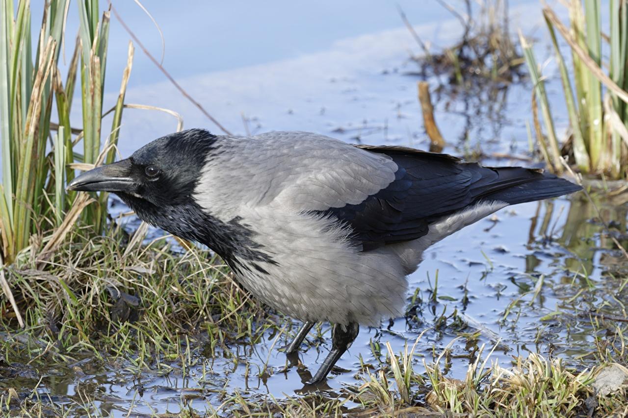 Картинка птица ворона Grey Crow цветок воде Крупным планом Птицы Вороны Цветы Вода вблизи