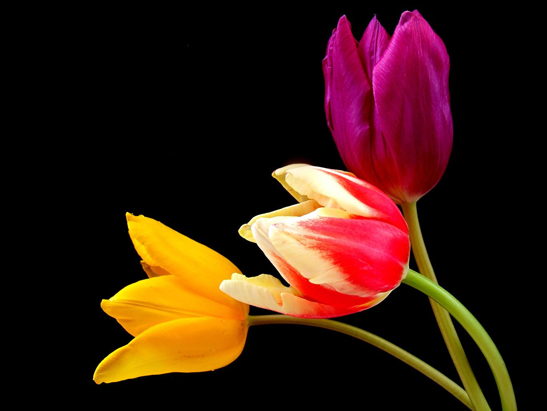 Обои для рабочего стола Тюльпаны цветок втроем на черном фоне Крупным планом тюльпан Цветы три Трое 3 вблизи Черный фон