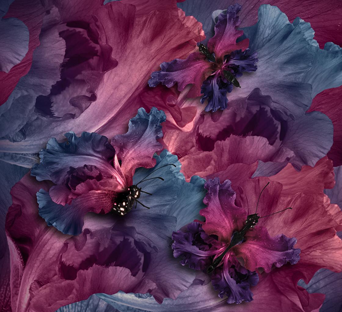 Картинка Бабочки Цветы Ирисы Крупным планом вблизи