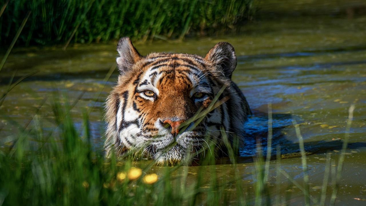 Картинка Тигры болотом воде Голова животное тигр Болото болоте Вода головы Животные