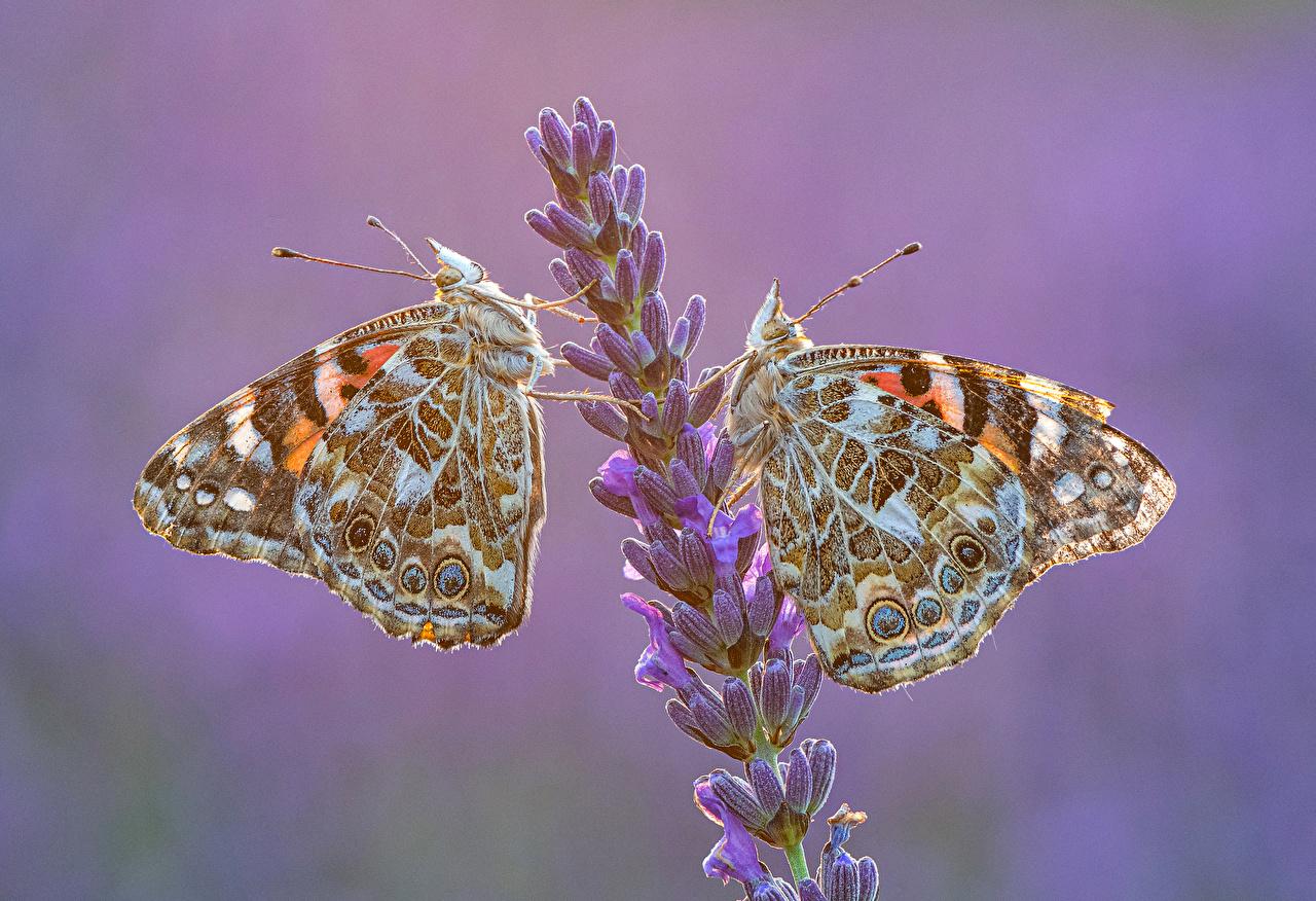 Обои для рабочего стола бабочка Насекомые Vanessa cardui 2 Лаванда животное Бабочки насекомое два две Двое вдвоем Животные