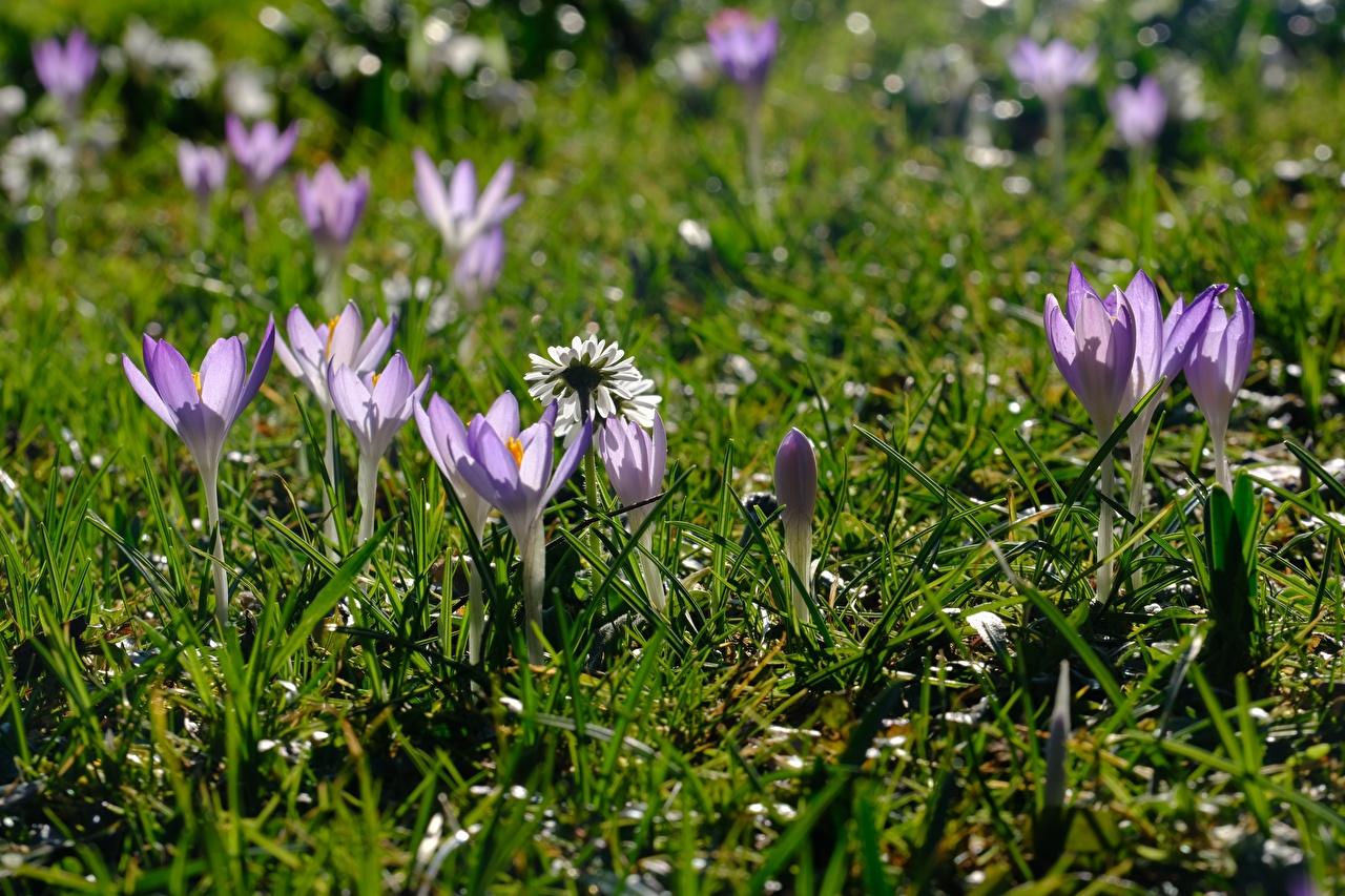 Фотография весенние фиолетовые Цветы Крокусы Трава Весна фиолетовая Фиолетовый фиолетовых Шафран цветок траве