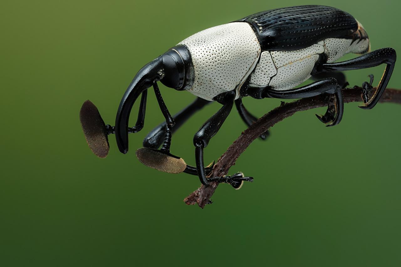 Обои для рабочего стола Жуки Насекомые cercidocerus albicollis животное Крупным планом насекомое вблизи Животные