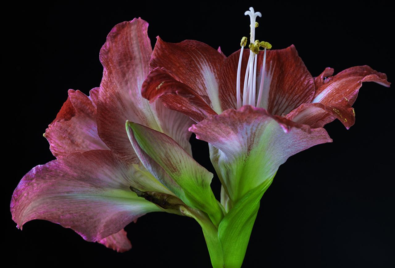 Картинки Цветы Амариллис Бутон вблизи на черном фоне цветок Черный фон Крупным планом