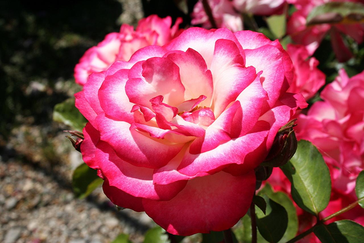 Картинки роза цветок вблизи Розы Цветы Крупным планом
