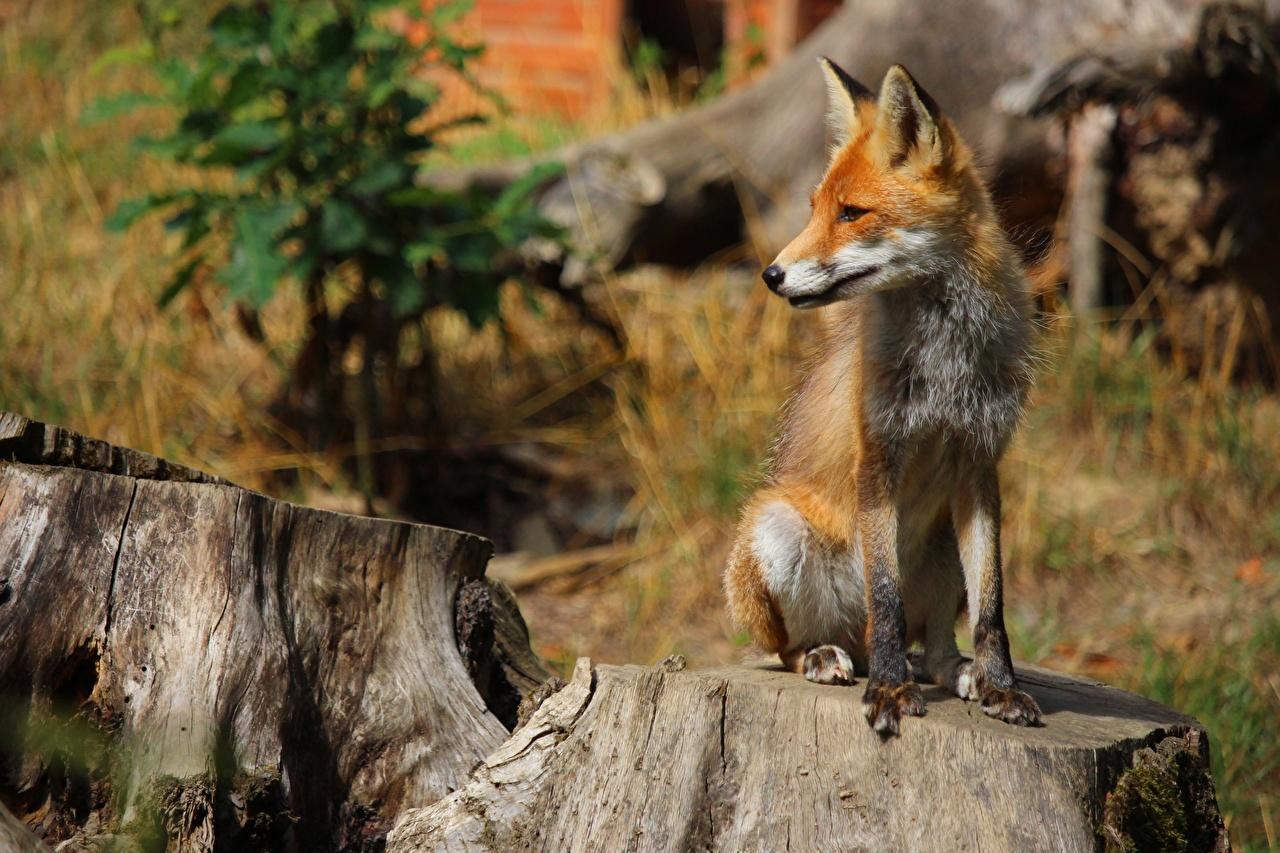 Фотографии Лисы Размытый фон рыжие Пень сидящие Животные Лисица боке рыжая Рыжий пне сидя Сидит животное