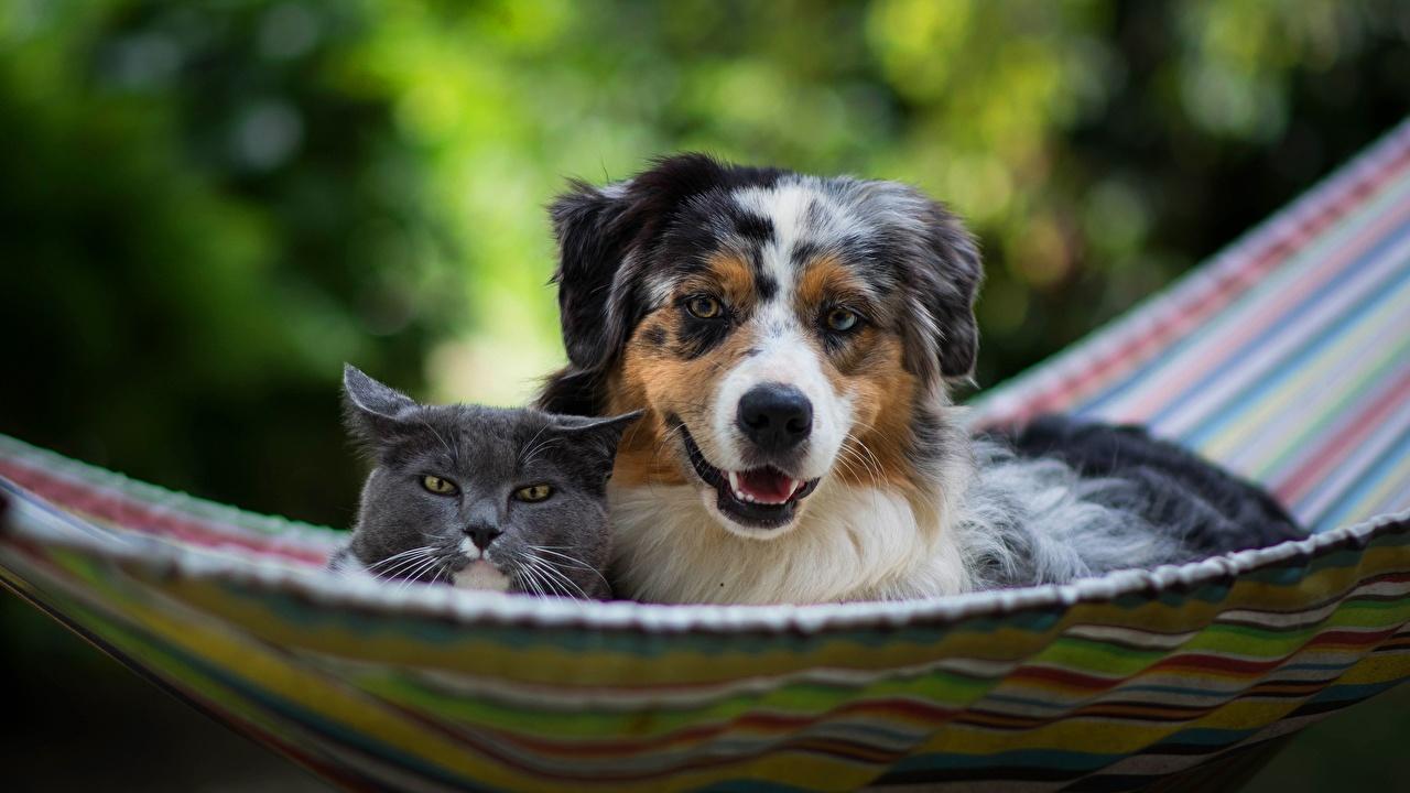 Фото аусси кот Собаки гамаке Двое Животные Австралийская овчарка коты Кошки кошка собака Гамак 2 два две вдвоем животное