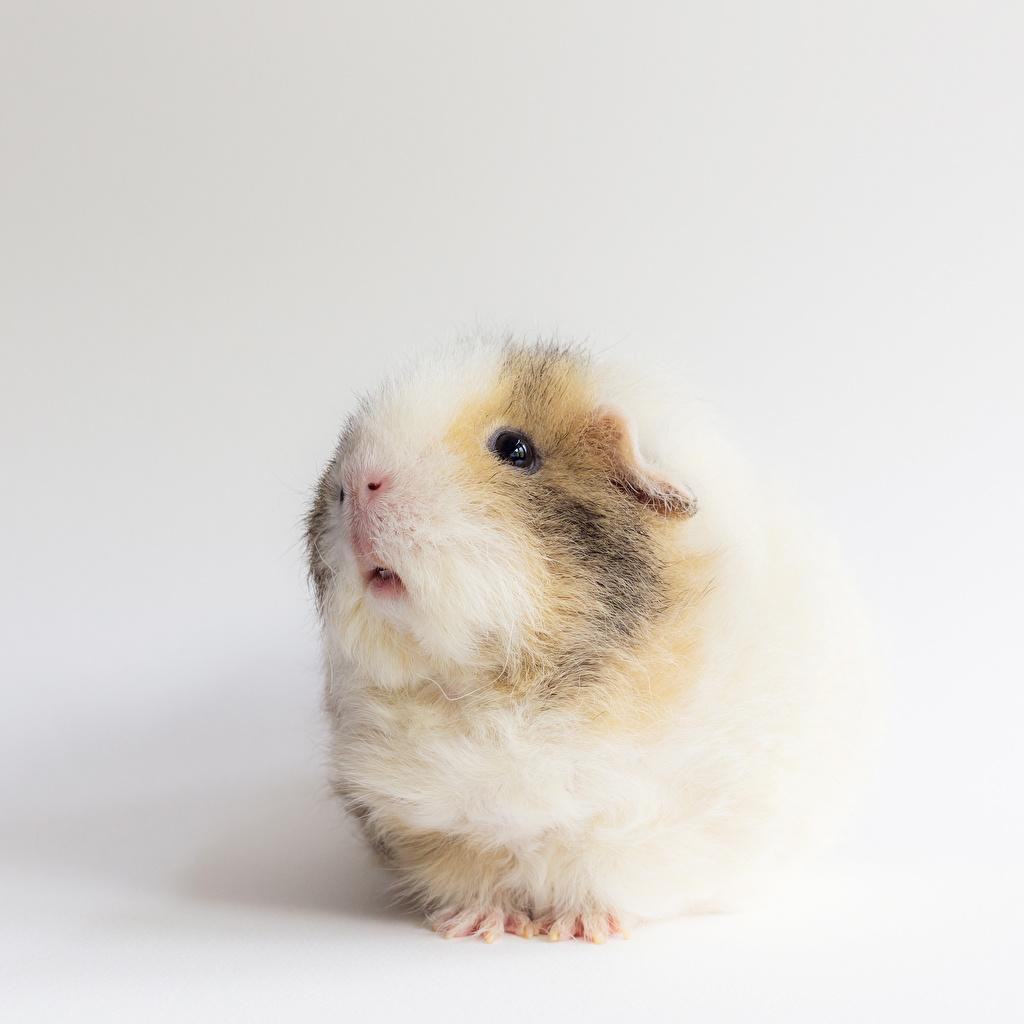 Фотографии Грызуны Морские свинки животное Животные