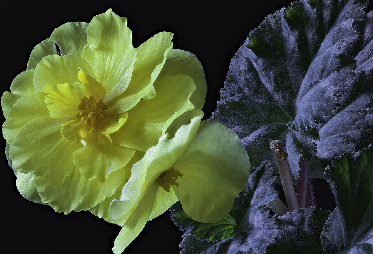 Фотографии Желтый Цветы Бегония вблизи Черный фон желтых желтые желтая цветок на черном фоне Крупным планом