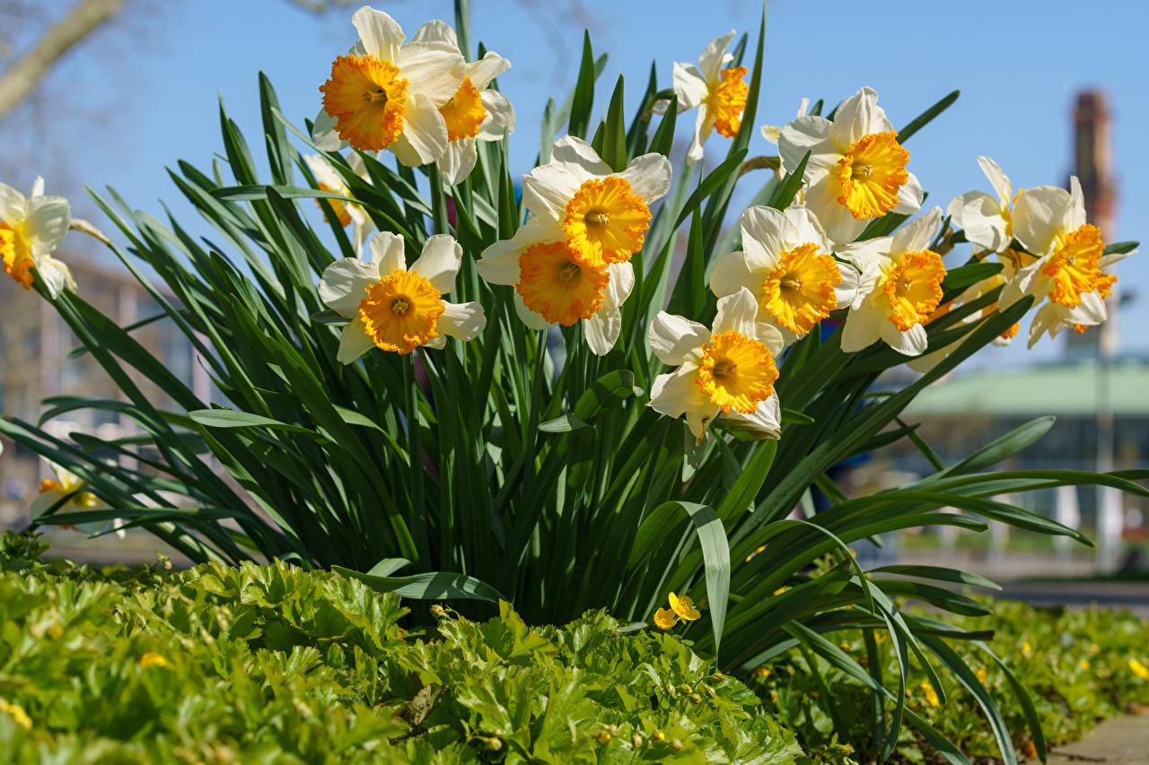 Картинки цветок Нарциссы Много Цветы