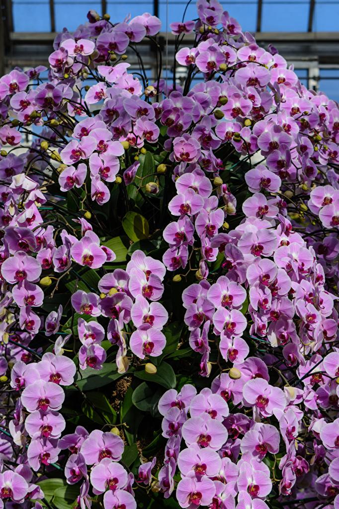Картинка Орхидеи Фиолетовый Цветы Много  для мобильного телефона