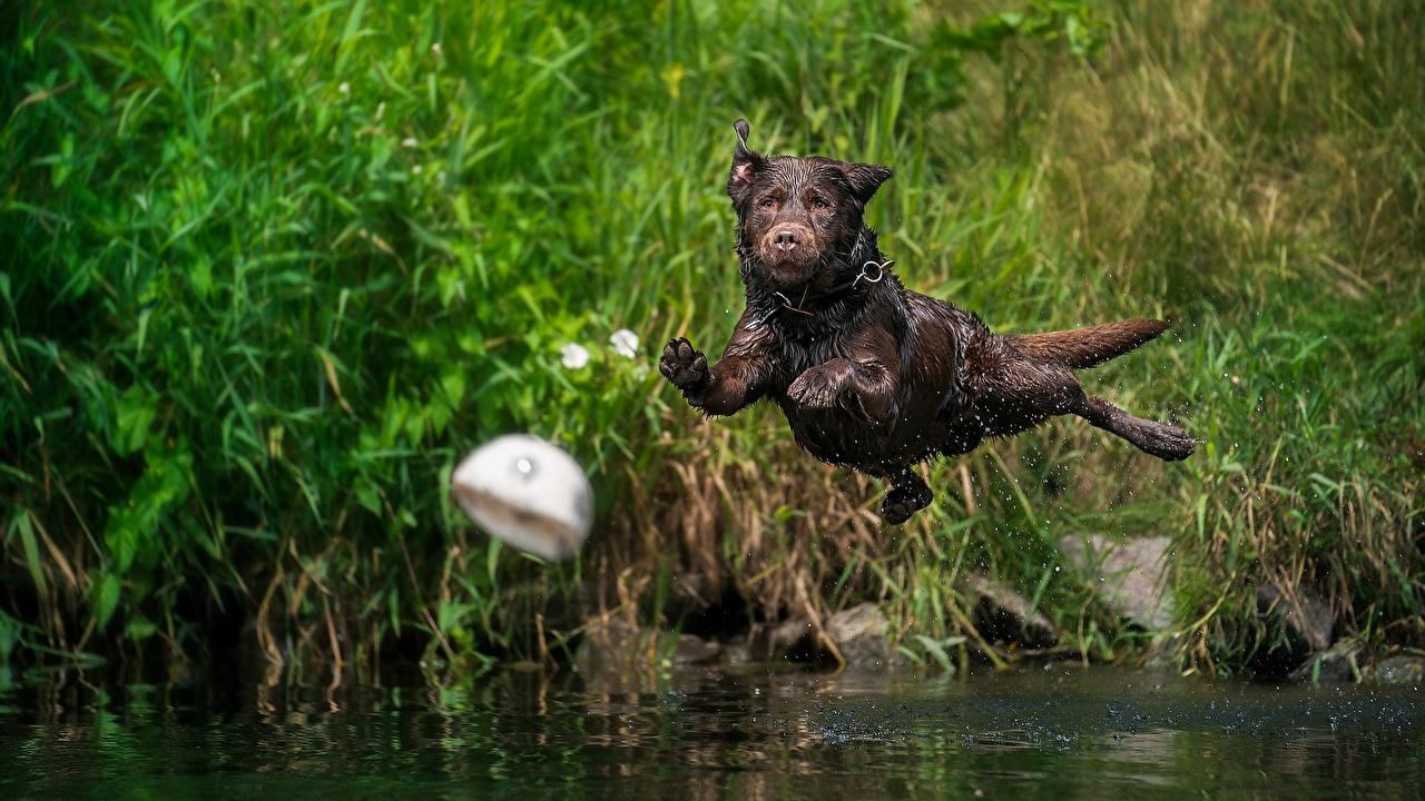 Фотографии Лабрадор-ретривер Собаки прыгает летящий Мокрые Животные собака Прыжок прыгать в прыжке летят летит Полет влажные животное