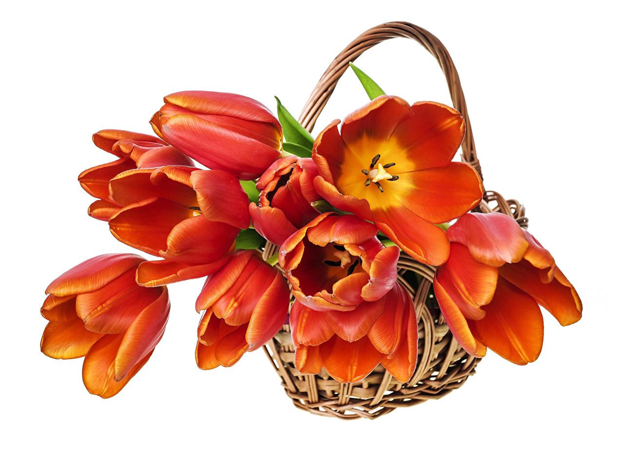 Картинка тюльпан Оранжевый цветок Корзинка Много Тюльпаны оранжевая оранжевые оранжевых Цветы Корзина корзины