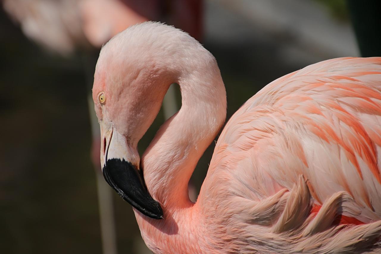 Картинка птица Фламинго Клюв розовая Сбоку Голова животное Птицы Розовый розовые розовых головы Животные