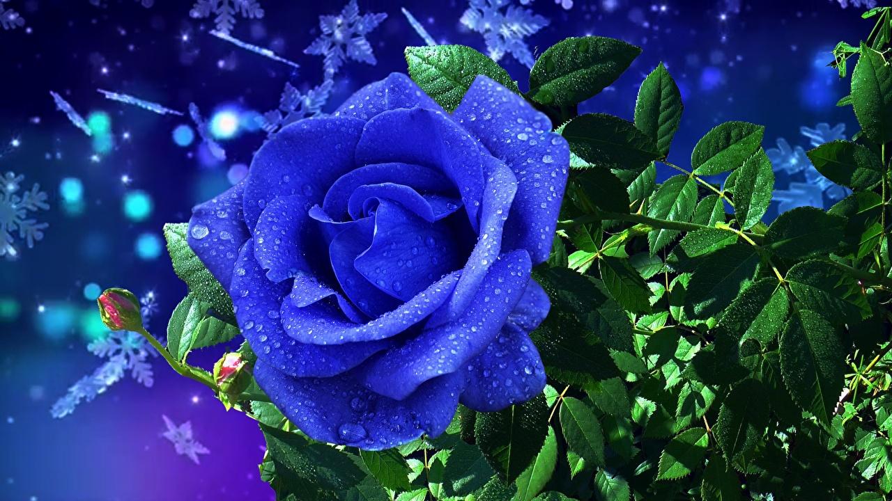 Картинка Розы Синий Цветы капель роза синих синяя синие Капли капля цветок капельки