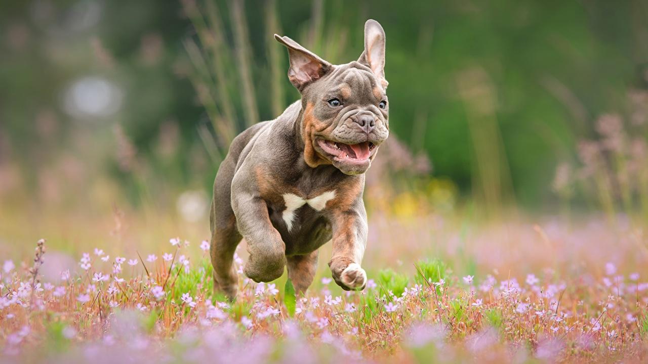 Картинки Бульдог собака Бег Размытый фон Животные бульдога Собаки бежит бегущая бегущий боке животное