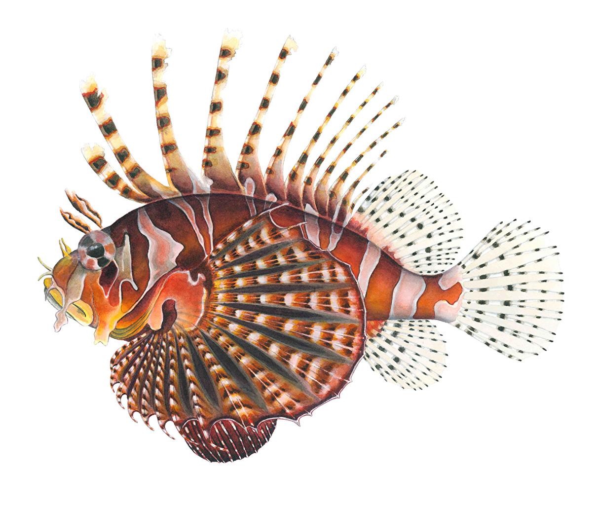 Фотографии Крылатки Рыбы животное крылатка Животные