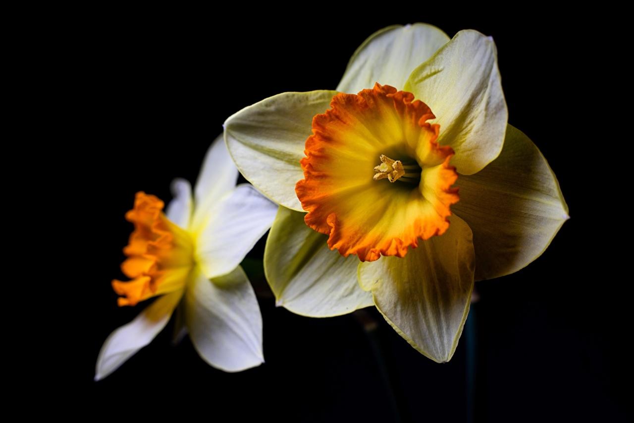 Обои для рабочего стола белые цветок Нарциссы на черном фоне белая Белый белых Цветы Черный фон