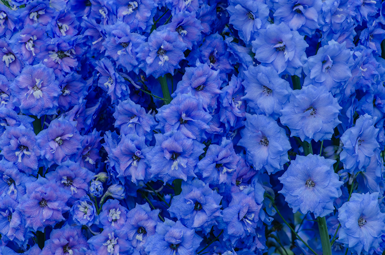 Картинки голубых Цветы Левкой Крупным планом Голубой голубые голубая цветок Маттиола вблизи