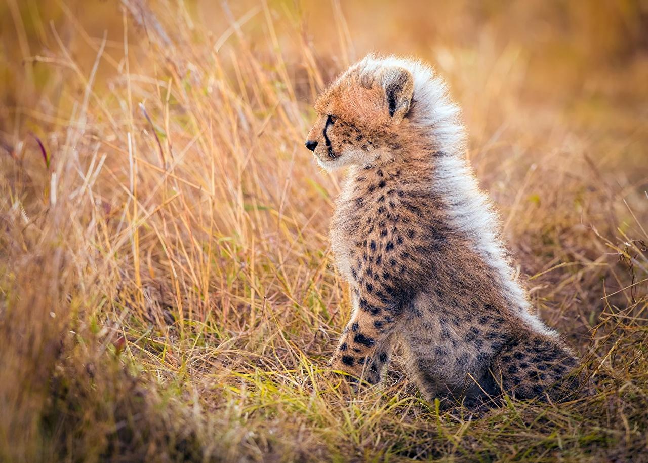 Картинка Гепарды Детеныши Трава Животные