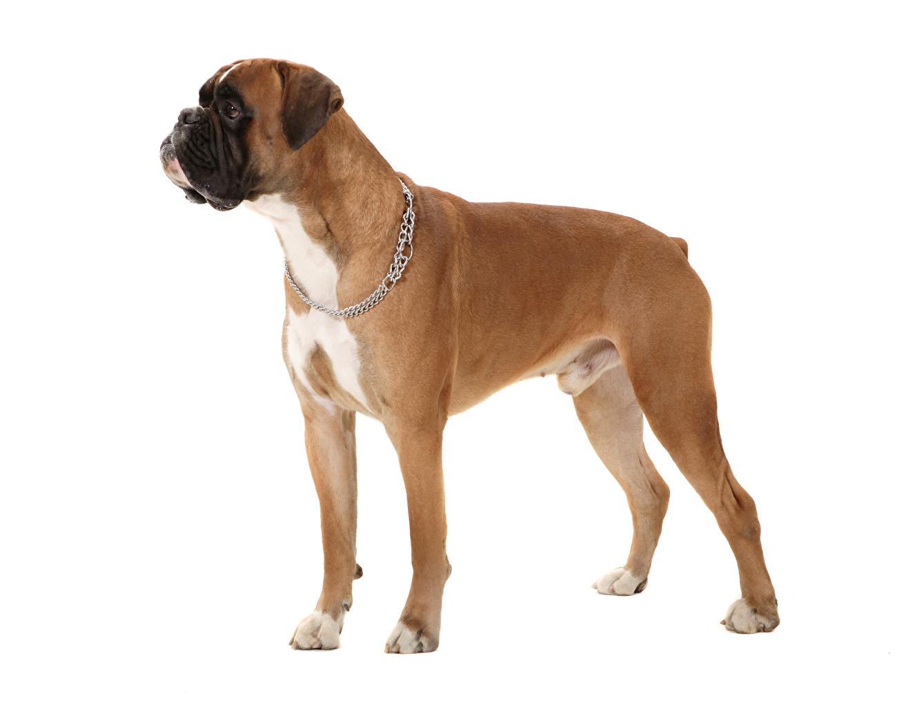 Фотографии Боксер собака Животные Белый фон боксера Собаки животное белом фоне белым фоном