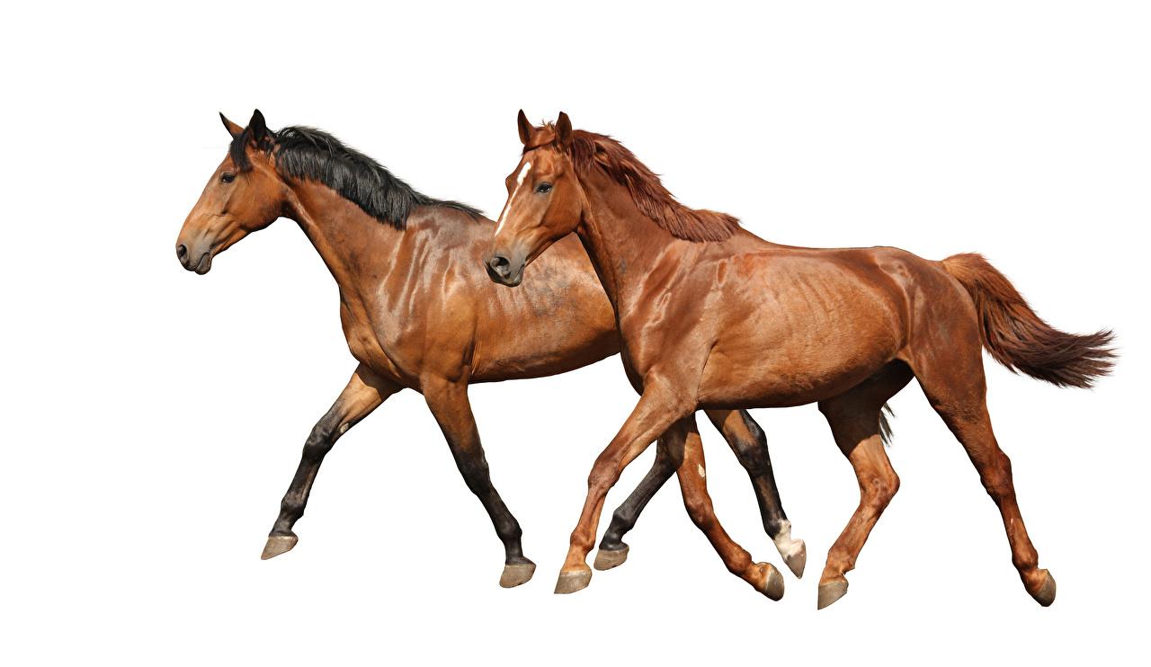 Фото Лошади бежит 2 Коричневый Животные белом фоне лошадь Бег бегущий бегущая две два Двое вдвоем коричневая коричневые животное Белый фон белым фоном