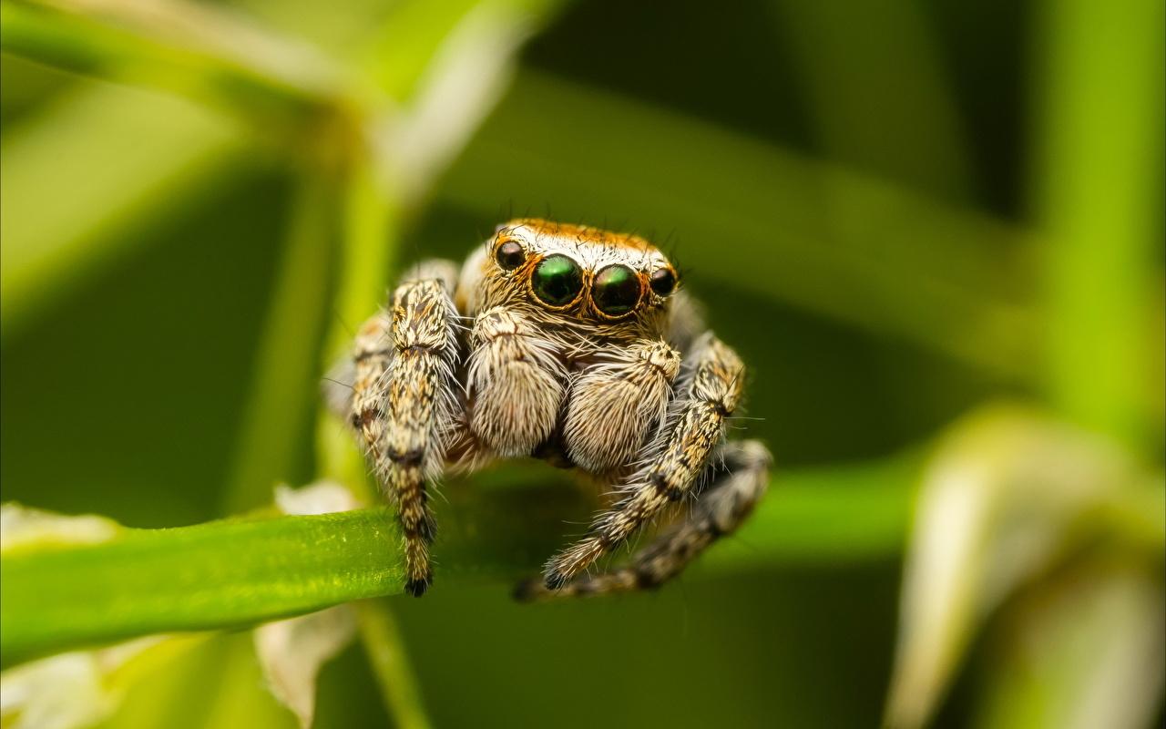 Фотографии Пауки-скакуны Пауки насекомое вблизи Животные Насекомые животное Крупным планом