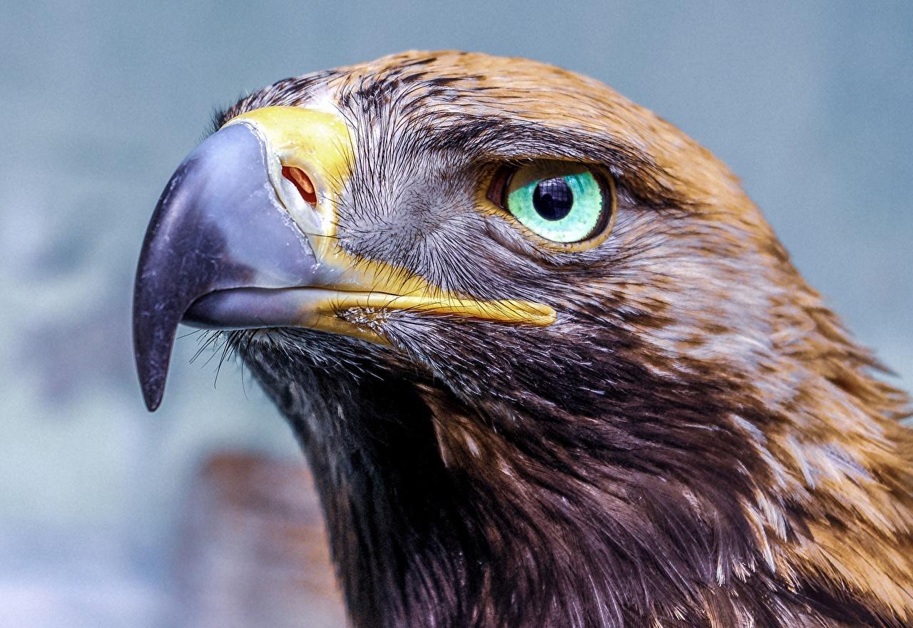 Фотографии орел Глаза Клюв Взгляд головы Животные Крупным планом Орлы вблизи Голова смотрят смотрит животное