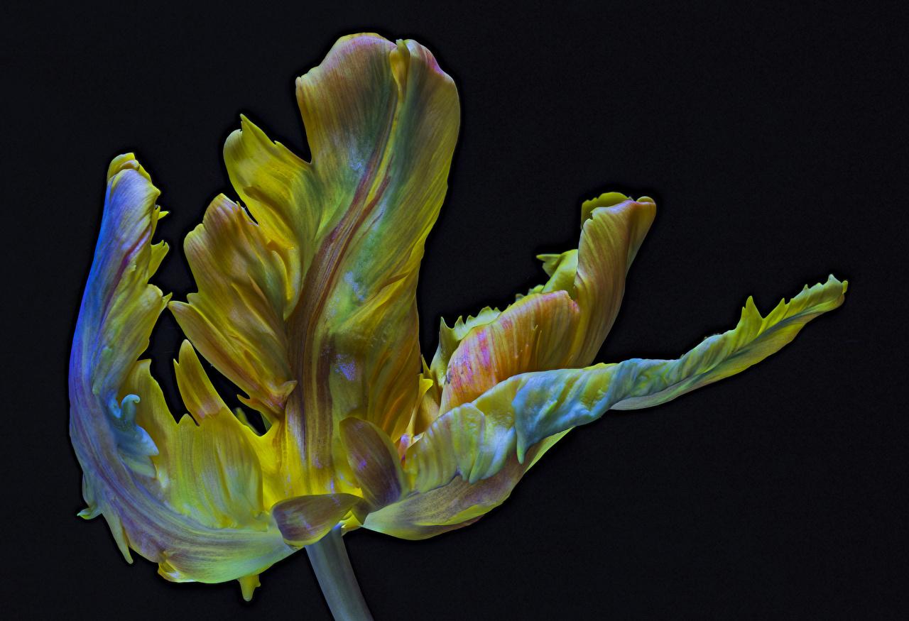 Обои Parrot Tulip Тюльпаны Цветы вблизи Черный фон Крупным планом