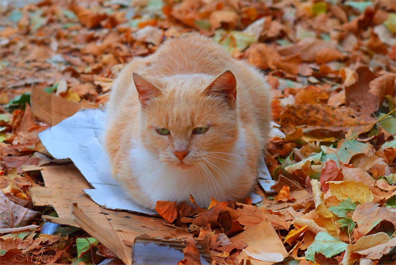 Фото кот Листва Рыжий Животные коты Кошки кошка лист Листья рыжие рыжая животное