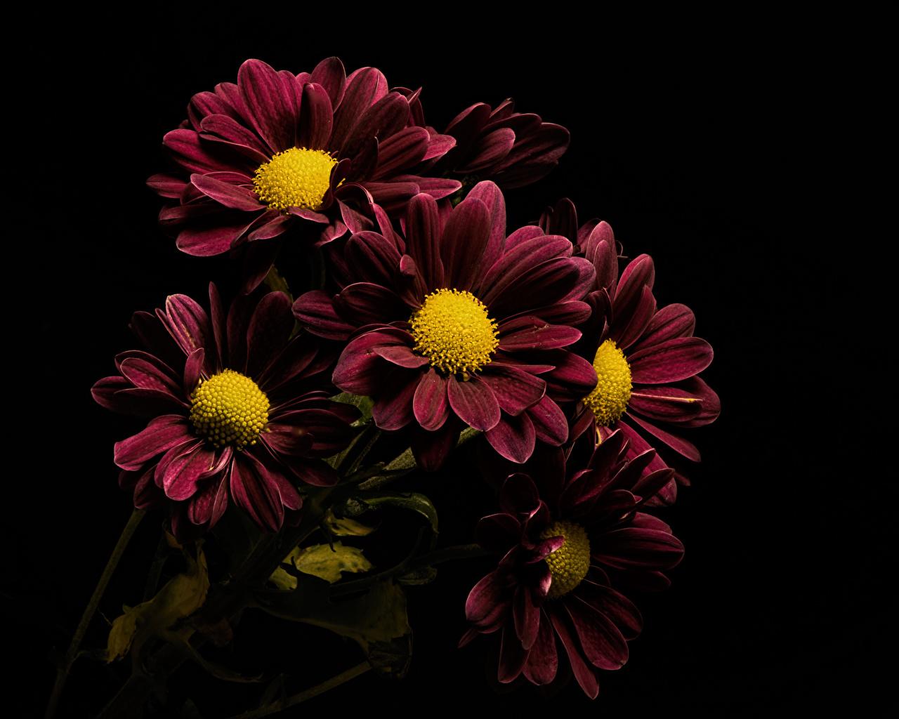 Фото бордовая цветок Хризантемы на черном фоне Крупным планом Бордовый бордовые темно красный Цветы вблизи Черный фон