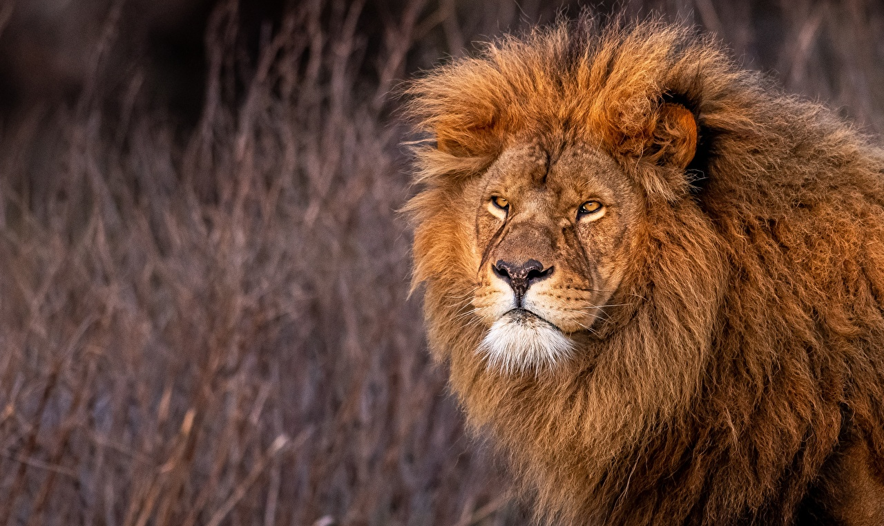 Картинки Львы смотрит животное лев Взгляд смотрят Животные