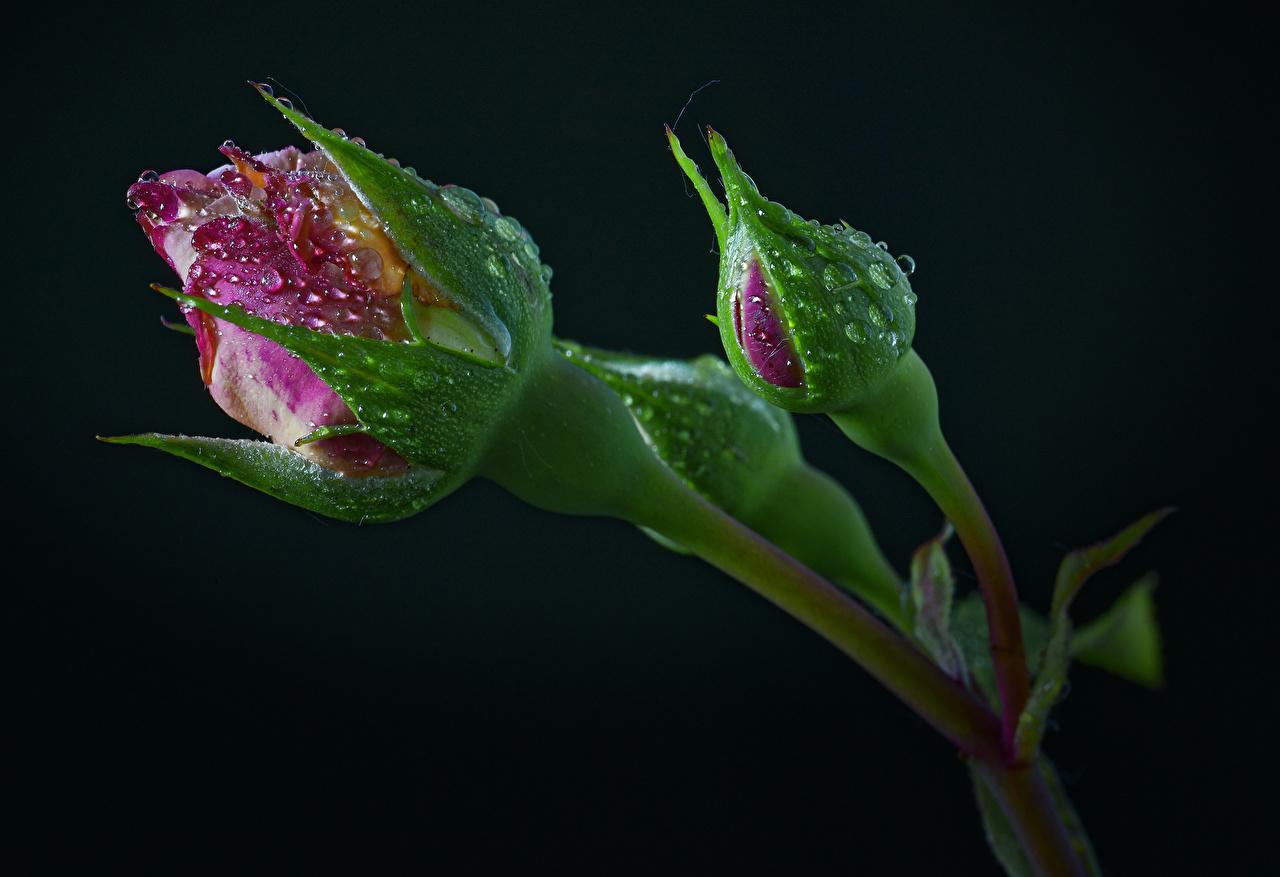 Фото Двое Розы Цветы Капли Бутон Черный фон