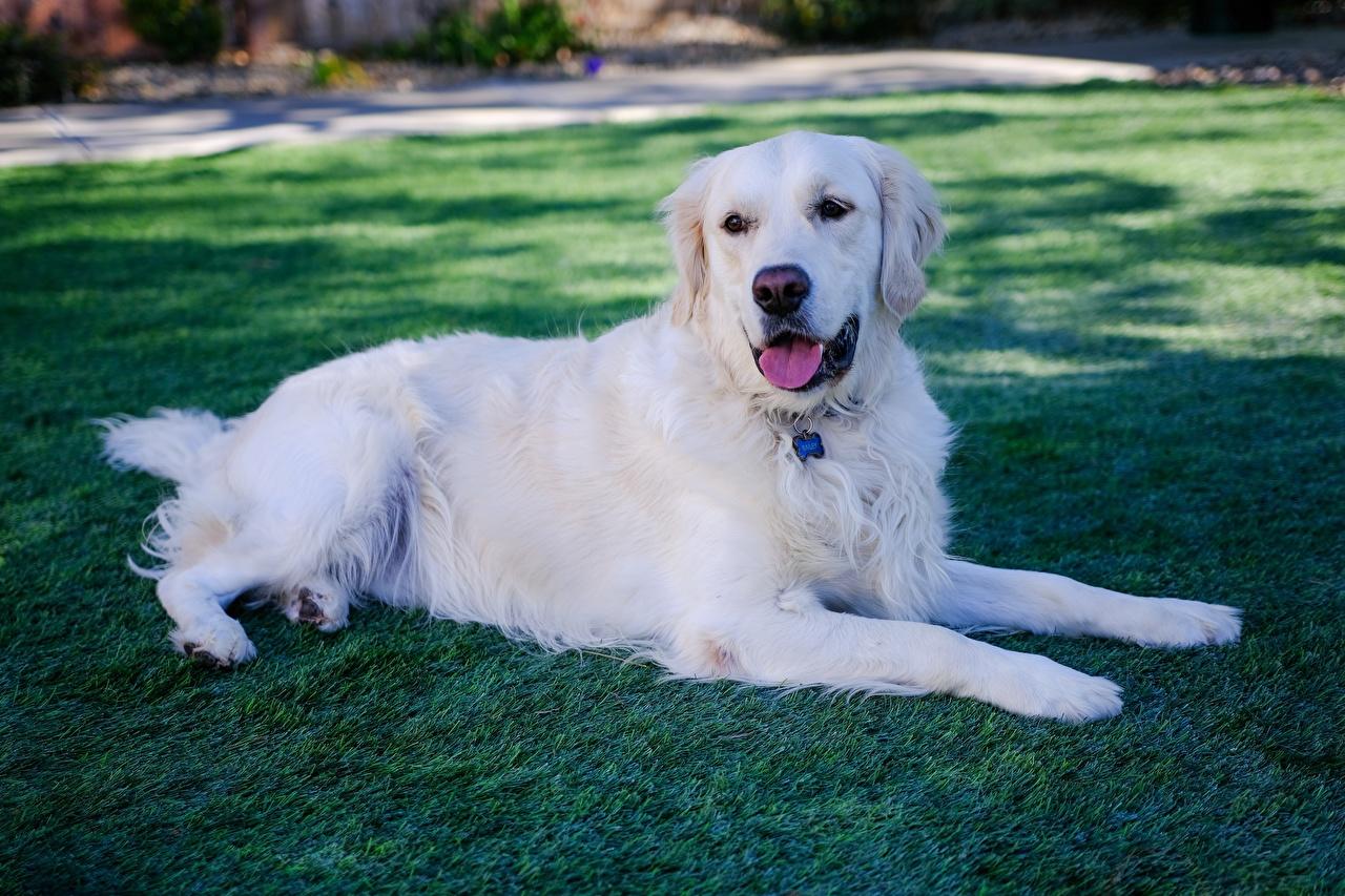 Фото Золотистый ретривер Собаки Лежит Белый Лапы Трава Животные