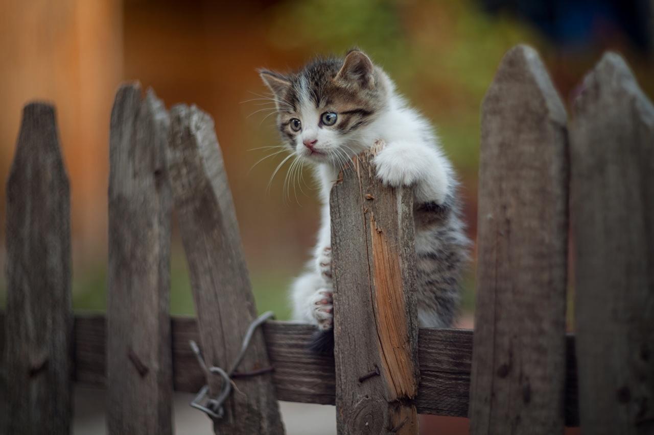 Картинки Котята коты Забор из дерева животное котят котенка котенок кот кошка Кошки ограда забора забором Деревянный Животные