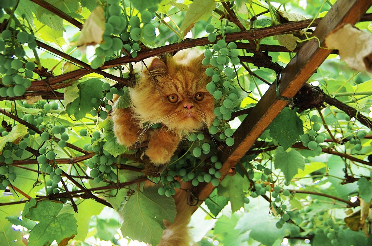 Картинки Кошки Виноград ветвь животное кот коты кошка Ветки ветка на ветке Животные