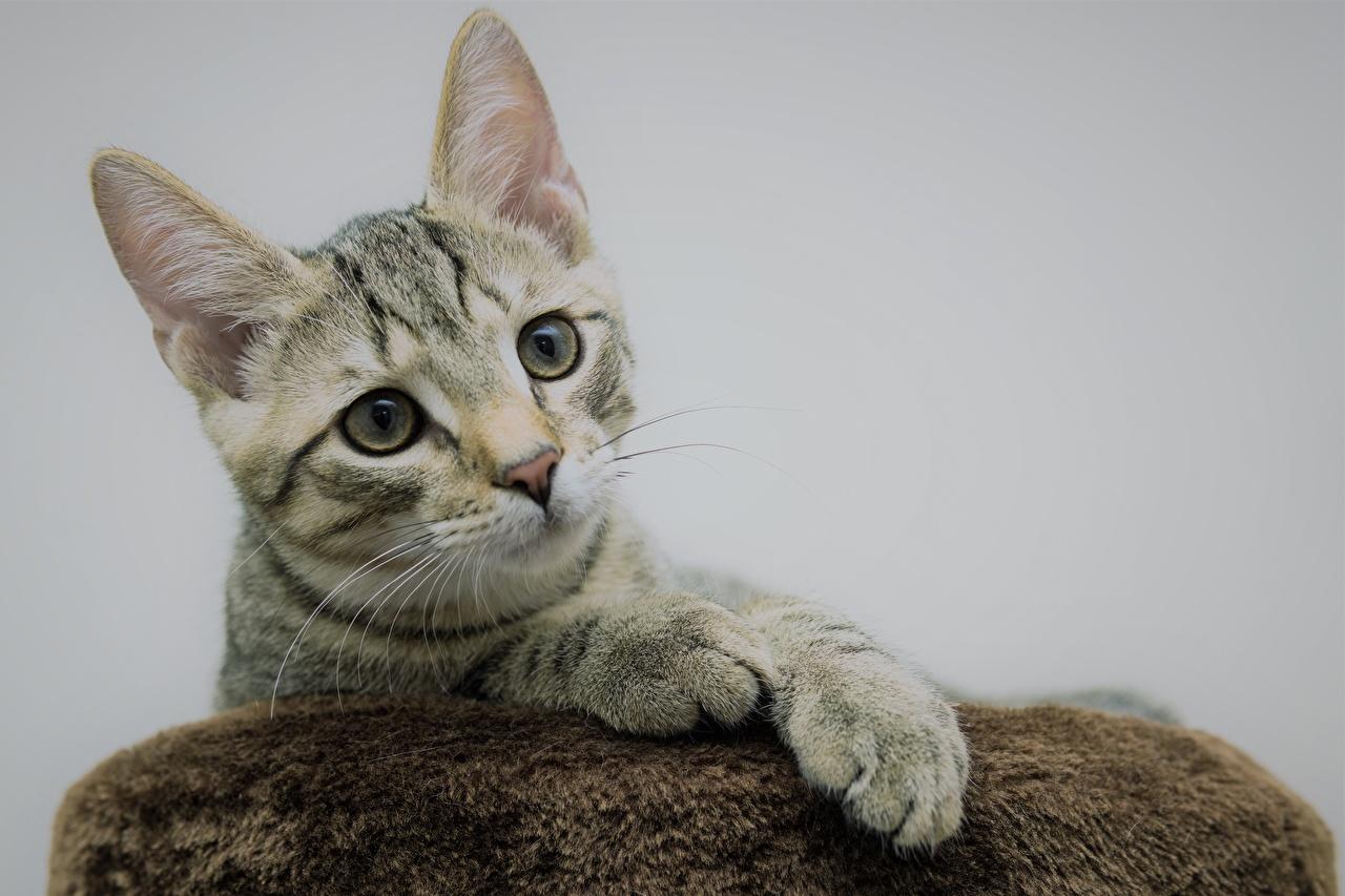 Фото Кошки Лапы Голова смотрят Животные Серый фон кот коты кошка лап головы Взгляд смотрит животное сером фоне