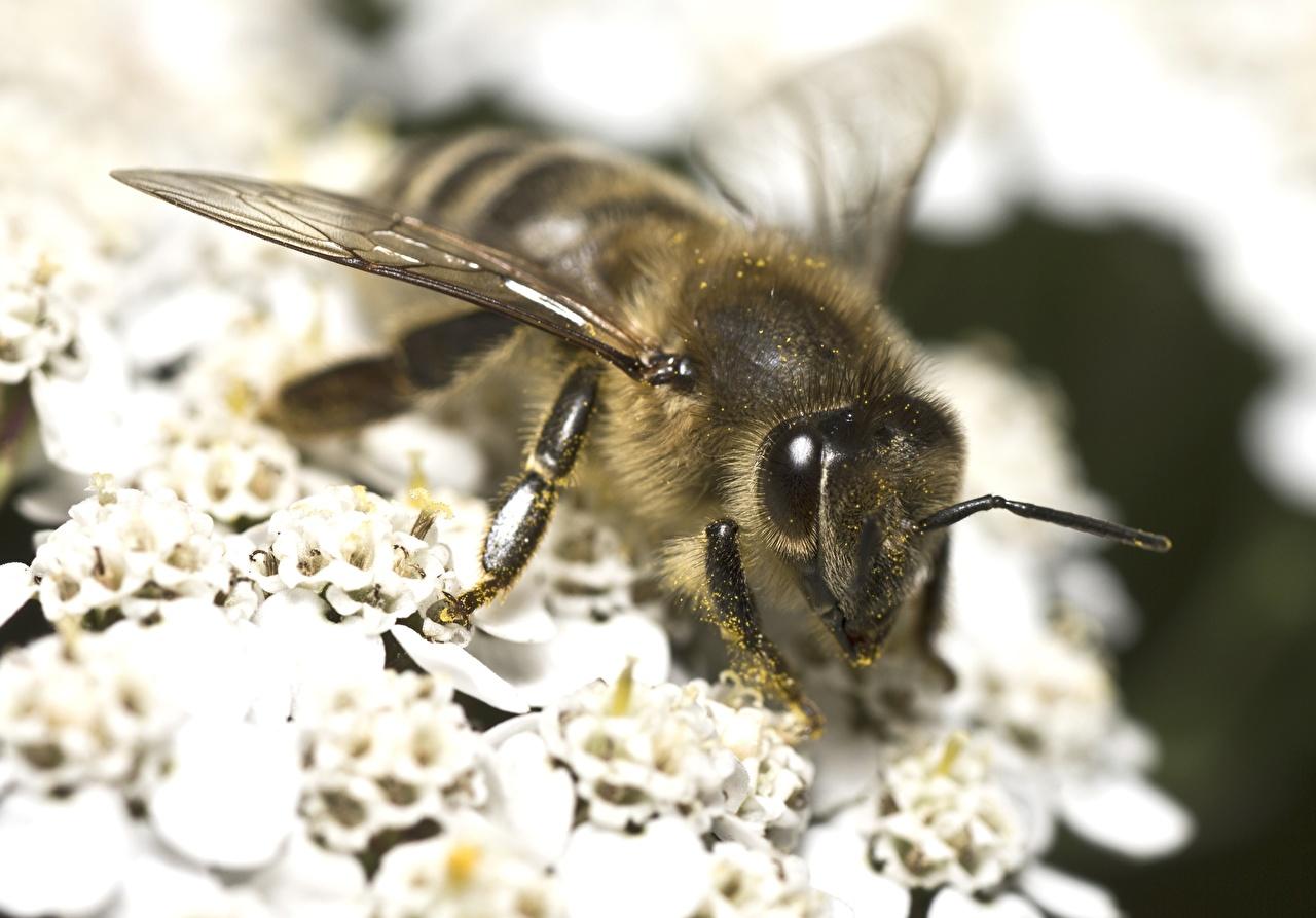 Фотография Пчелы вблизи животное Животные Крупным планом