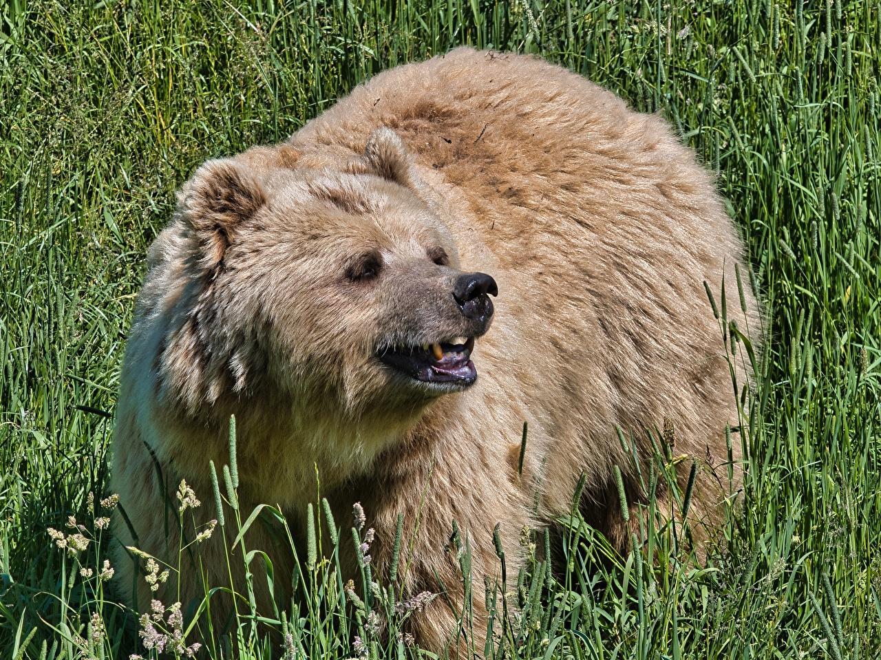 Фото Бурые Медведи Медведи Оскал Трава смотрит Животные Гризли медведь злой рычит злость траве Взгляд смотрят животное