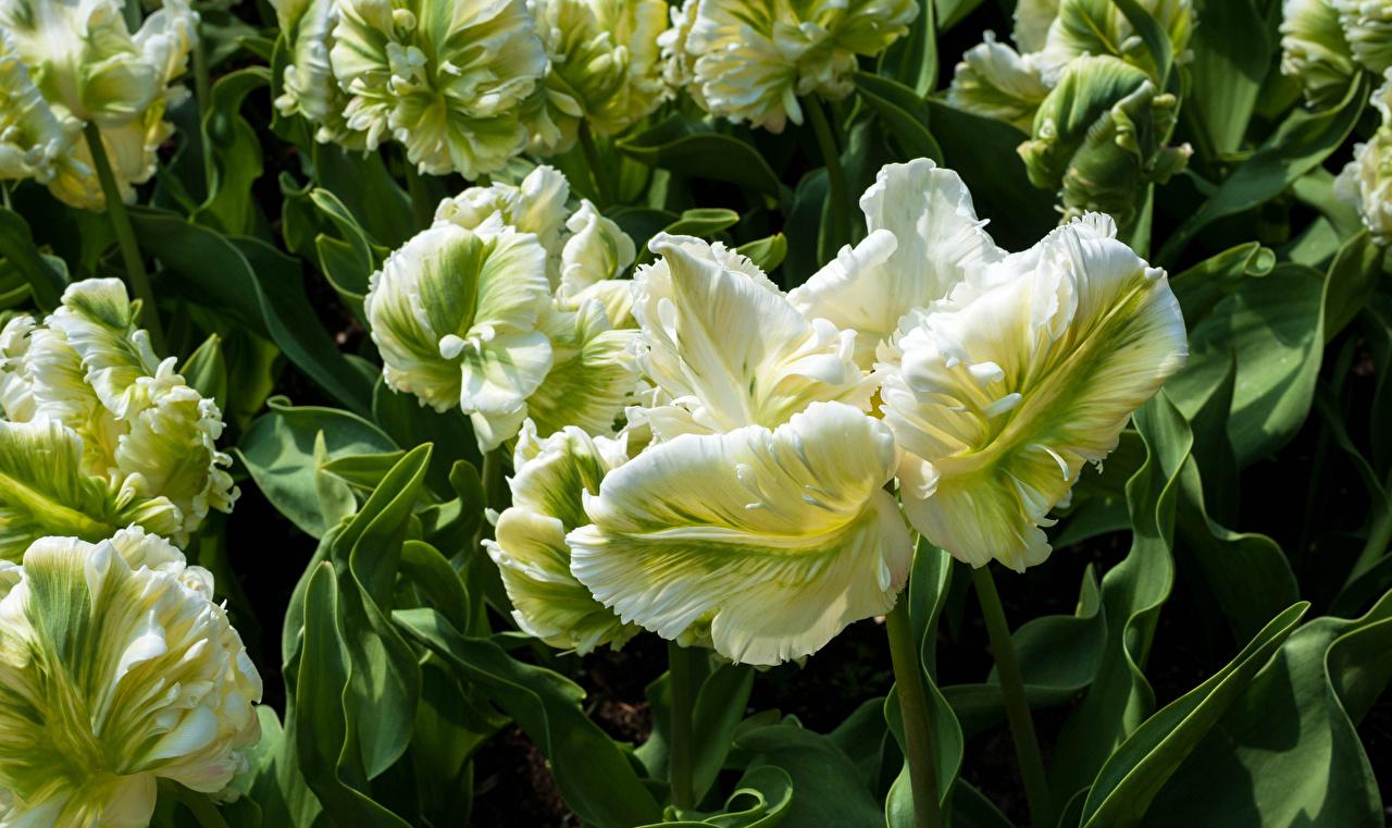 Фотографии Parrot Tulips тюльпан цветок Крупным планом Тюльпаны Цветы вблизи