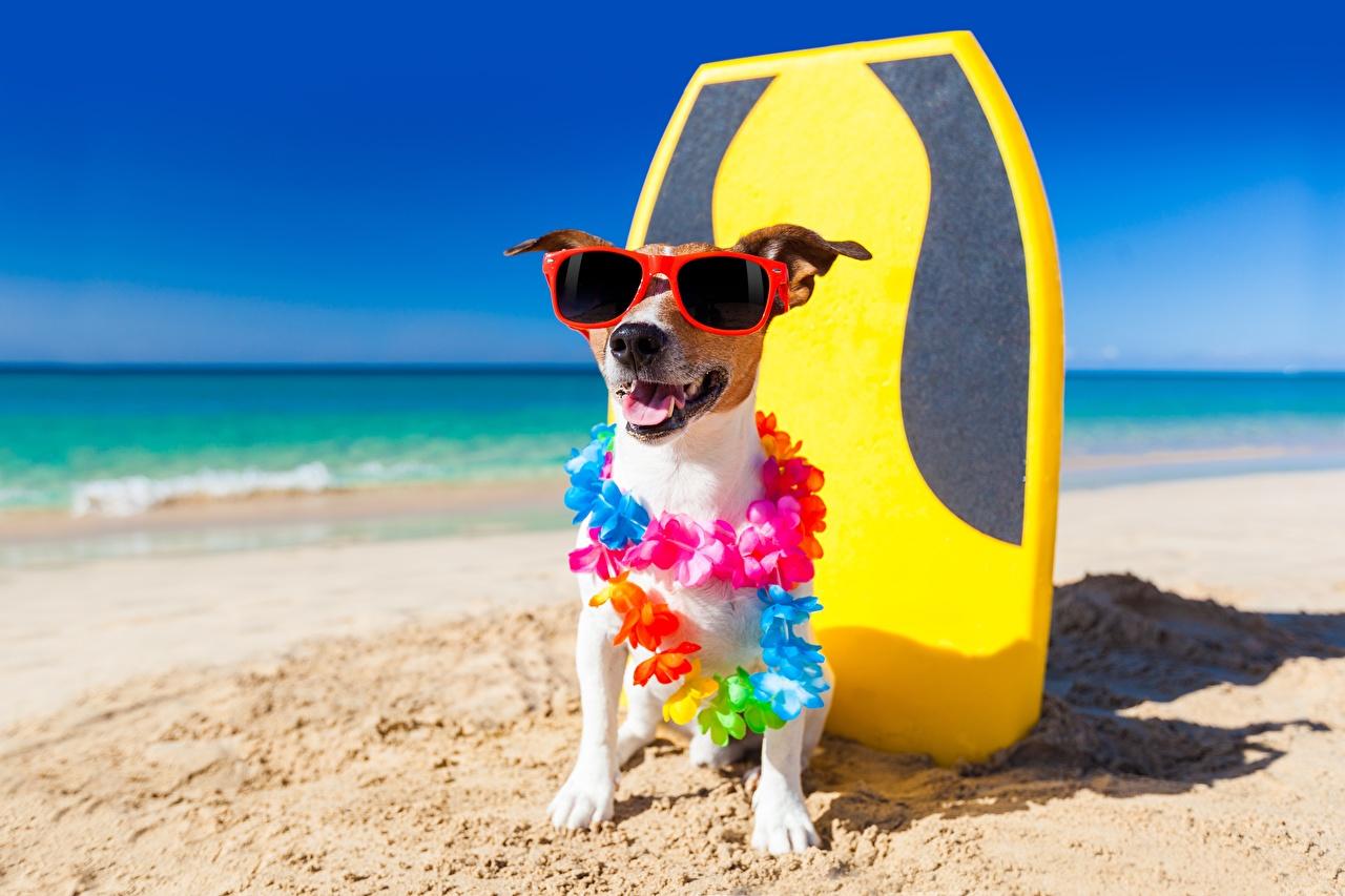 Фотографии Джек-рассел-терьер Собаки Смешные Очки животное собака смешной смешная забавные очков очках Животные