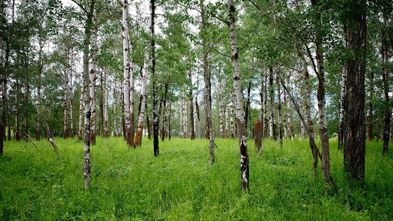 Картинка береза Природа лес траве дерево Березы Леса Трава дерева Деревья деревьев