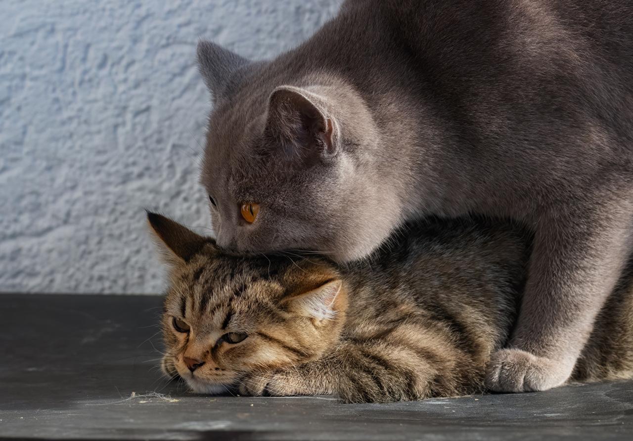 Фотография котят Британская короткошёрстная кошка Двое животное Котята котенок котенка кот коты Кошки 2 два две вдвоем Животные